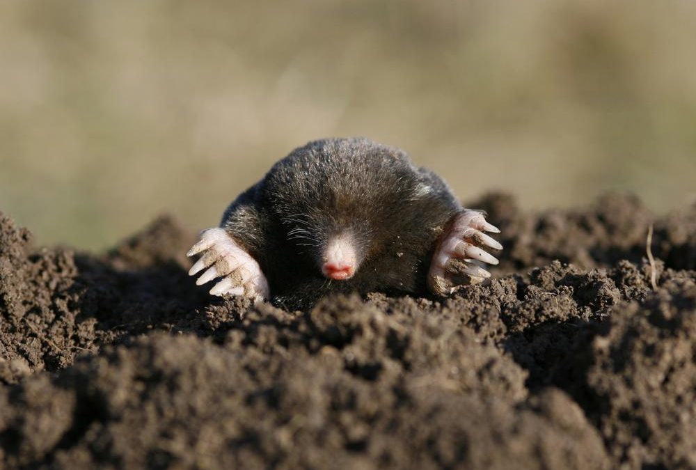 mole poking out of the dirt