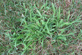 A Couple Pointers About Crabgrass