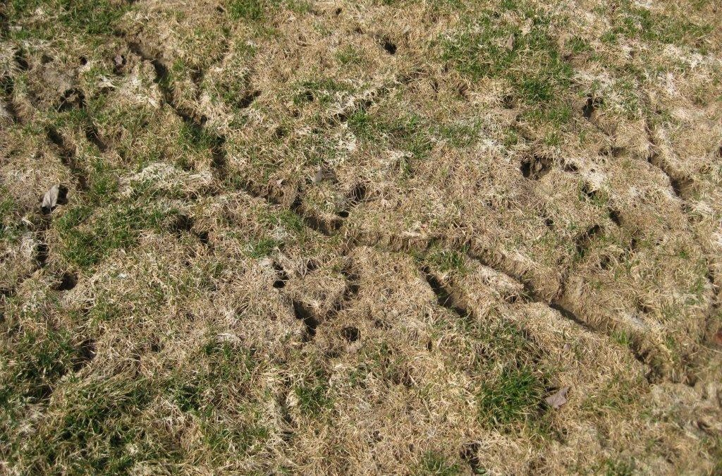 How to deal with vole damage on your Grand Rapids lawn