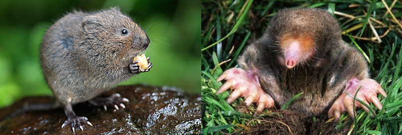 Voles vs. Moles – Which One Is Damaging My Lawn?