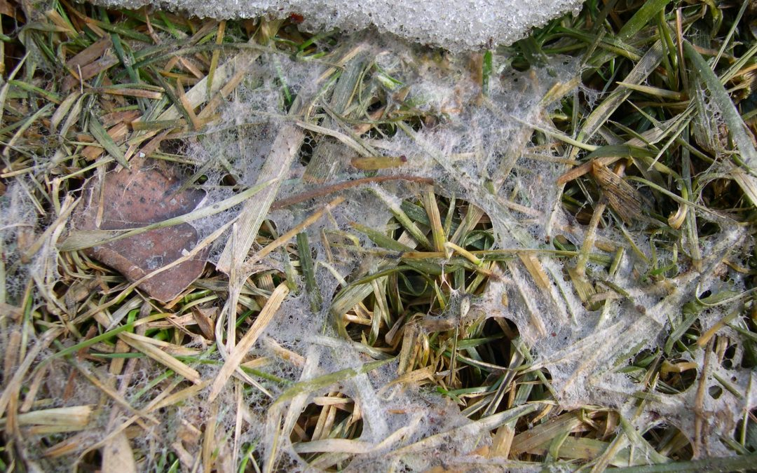 How to identify snow mold in your Grand Rapids lawn?